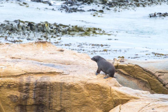 Seelöwenkolonie am Shag Point