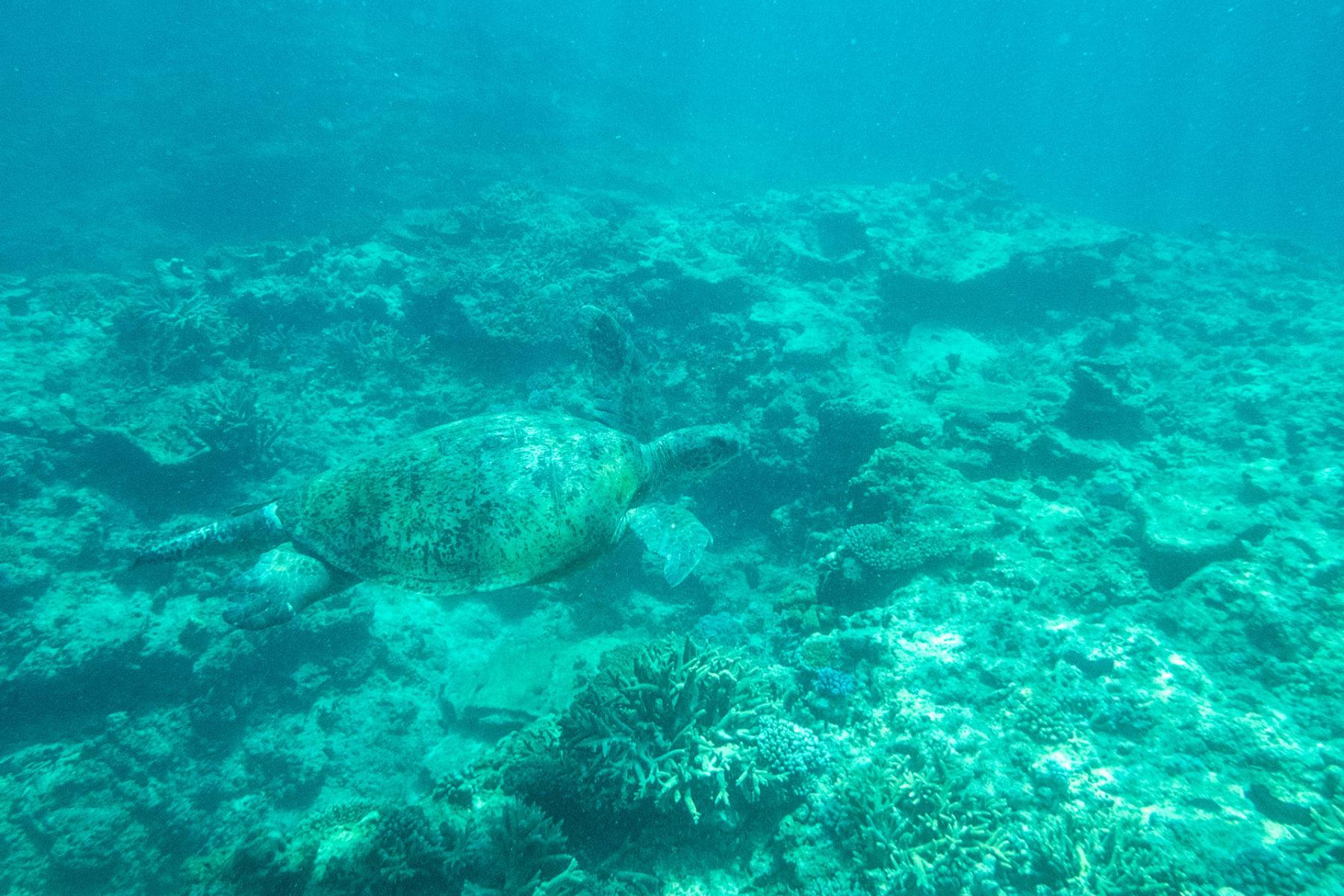Männliche, ausgewachsene Schildkröte, ca. 1,8m