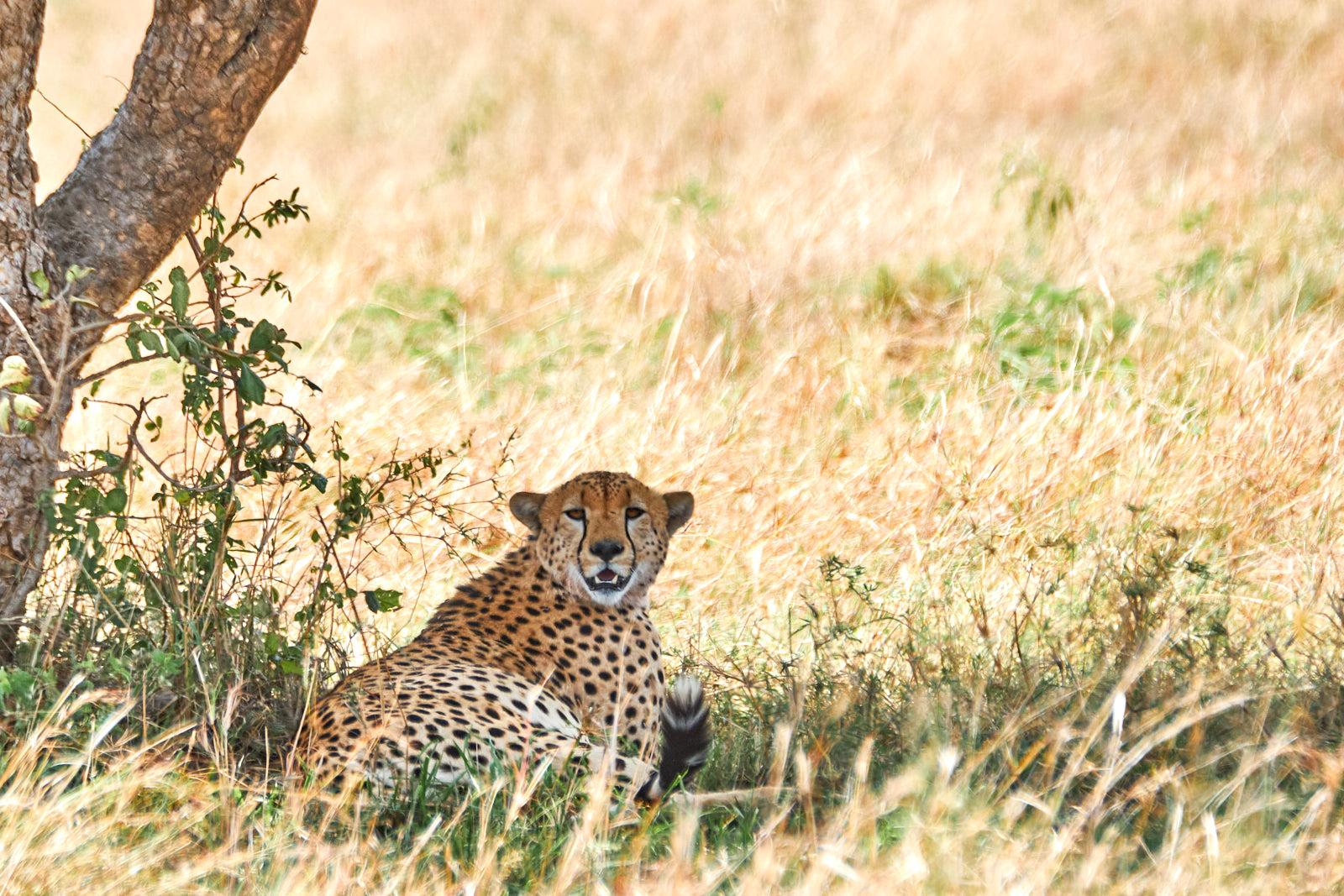 Gepard bei der Mittagsruhe