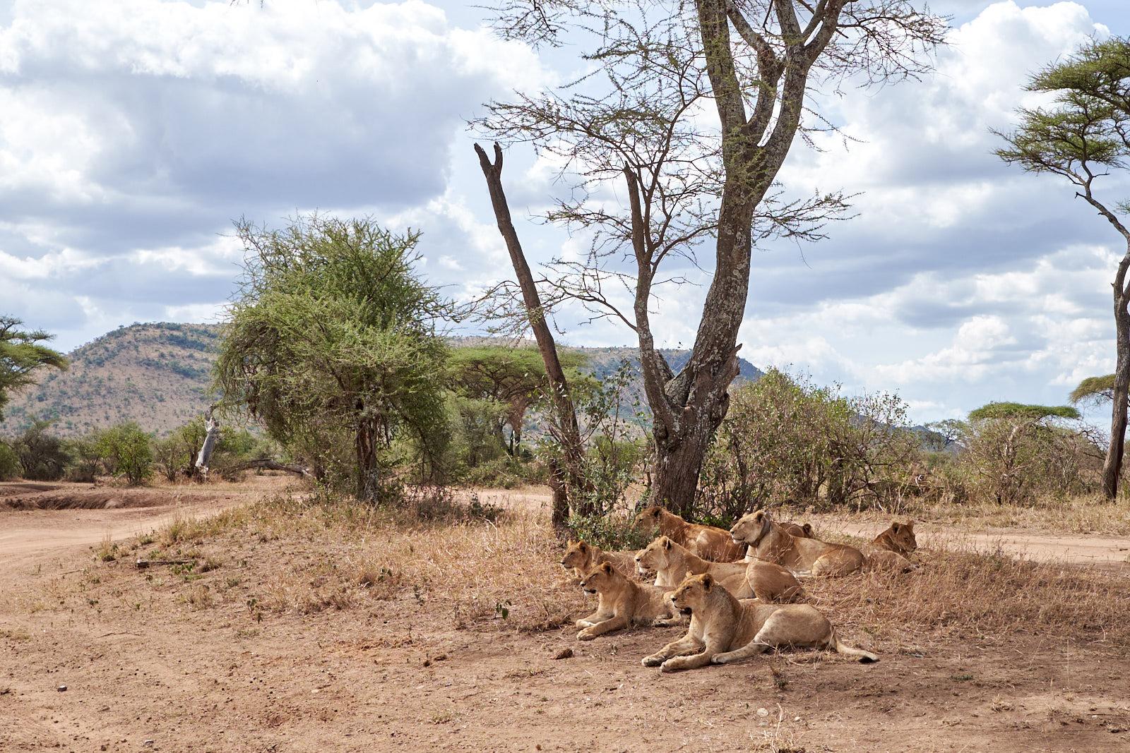 Löwenrudel in der Serengeti