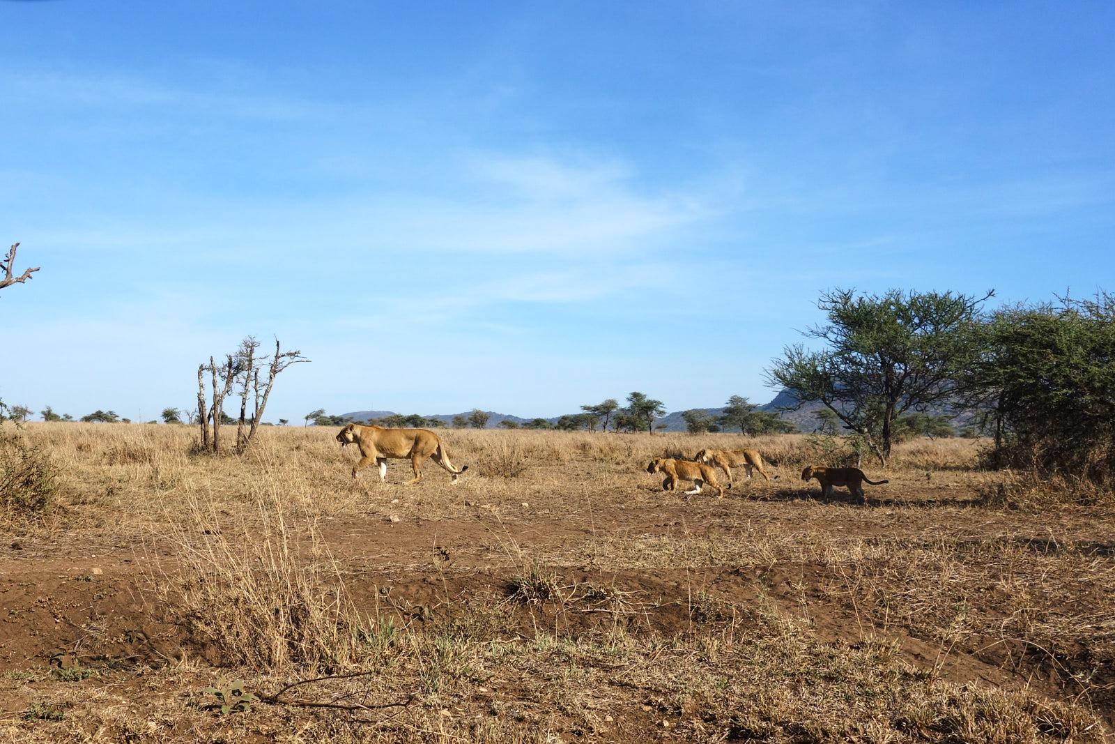 Löwenjunges mit Mutter