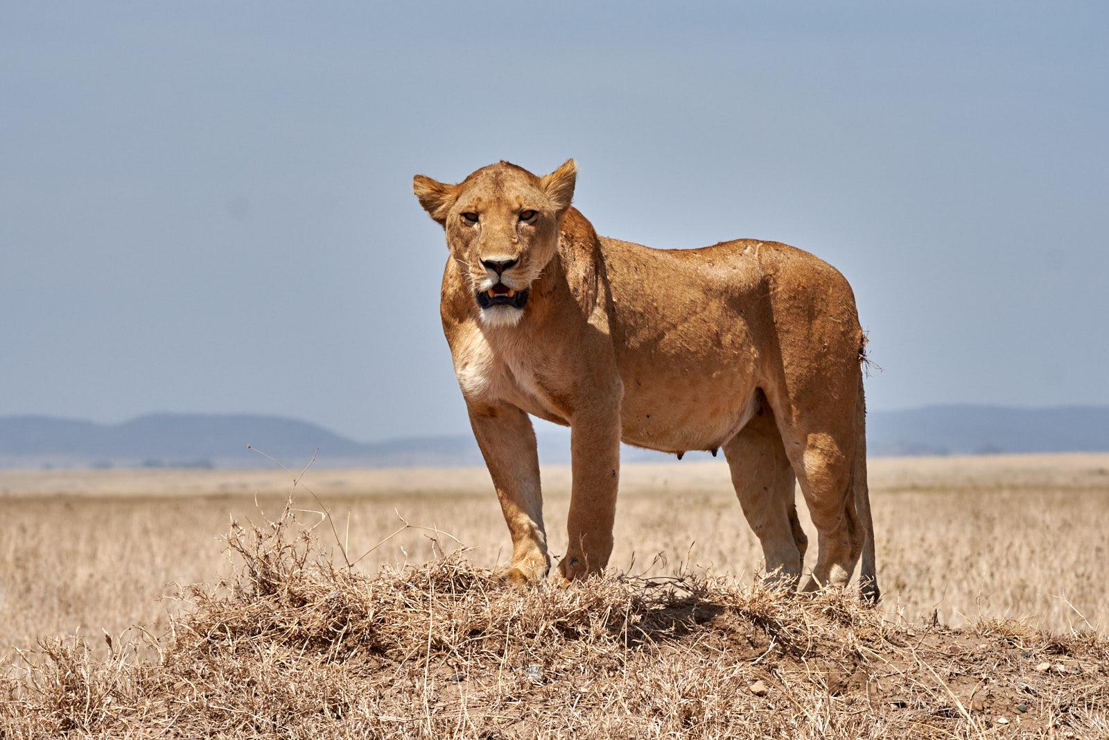 Löwenmutter am Straßenrand